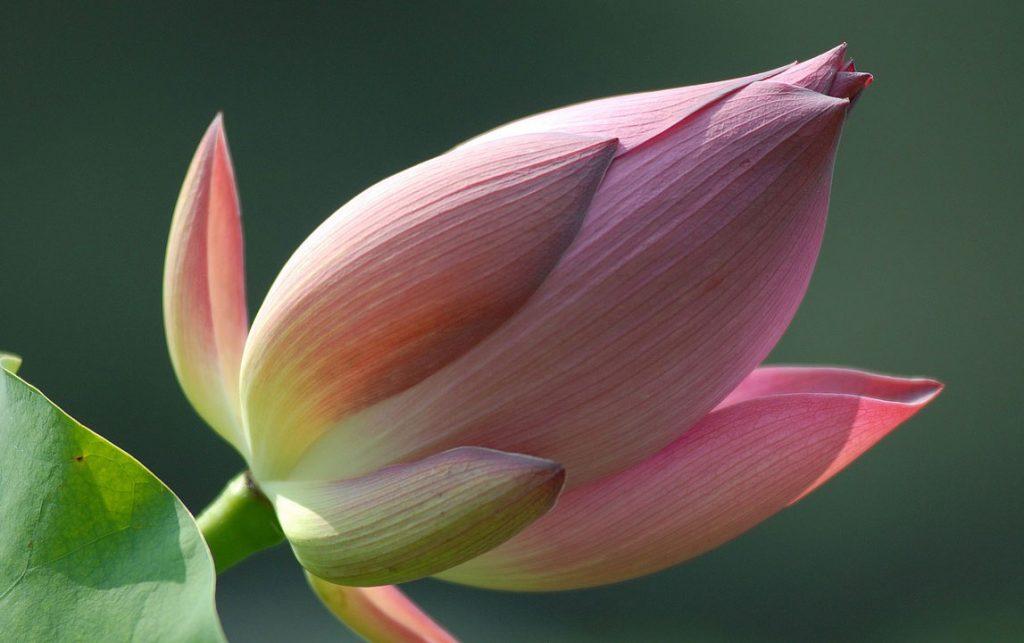 No mud, no Lotus: Was den Schmerz heilt