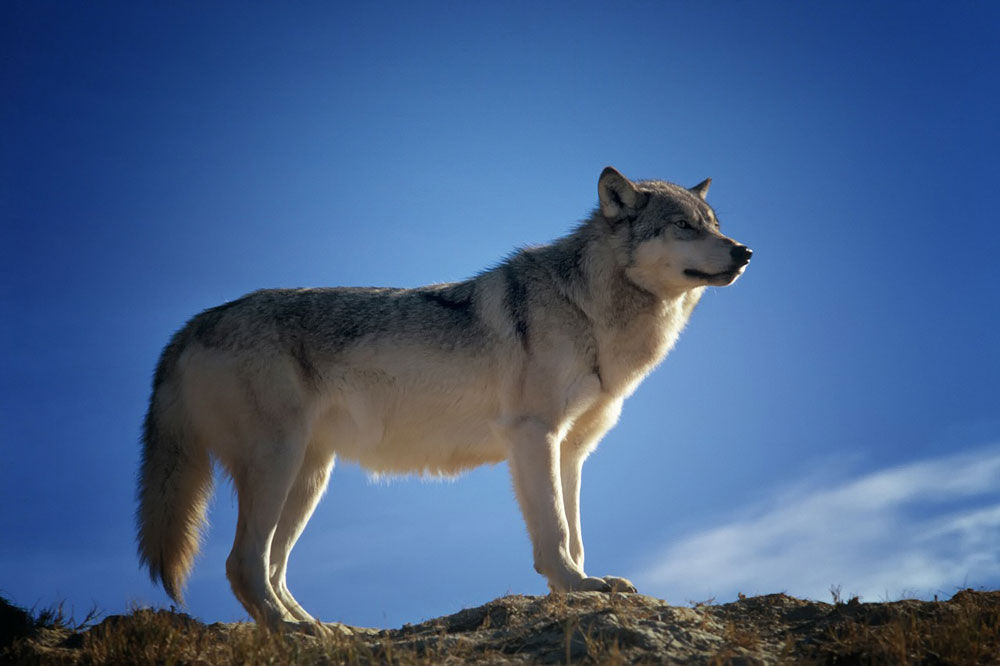 Die Wolfsfrau steht für unsere Instinktnatur